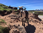 Northern Spain trip - 17th June- 4th July 2018 - mountain goat at Fuente De
